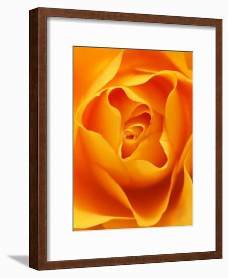 Still Life Photograph, Close-Up of Orange Rose-Abdul Kadir Audah-Framed Photographic Print