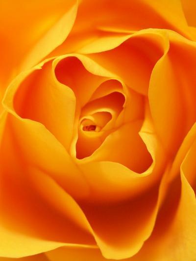 Still Life Photograph, Close-Up of Orange Rose-Abdul Kadir Audah-Photographic Print