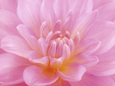 Still Life Photograph, Close-Up of Pink Dahlia-Abdul Kadir Audah-Photographic Print