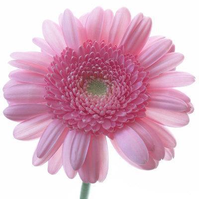https://imgc.artprintimages.com/img/print/still-life-photograph-frontal-shot-of-a-pink-gerbera-square-format-image_u-l-p941n00.jpg?p=0