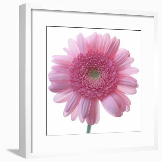 Still Life Photograph, Frontal Shot of a Pink Gerbera, Square Format Image-Abdul Kadir Audah-Framed Photographic Print