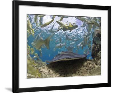 Stingray (Dasyatis Thetidis) and French Grunt (Haemulon Flavolineatum), Cozumel, Mexico, Caribbean-Antonio Busiello-Framed Photographic Print