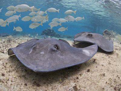 Stingray (Dasyatis Thetidis), Cozumel, Mexico, Caribbean, North America-Antonio Busiello-Photographic Print