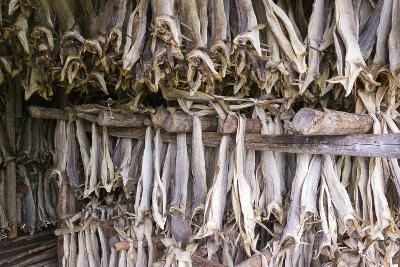 Stockfish, Norway-Dr. Juerg Alean-Photographic Print