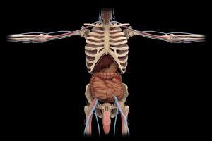 3D Rendering of Digestive System and Male Reproductive System by Stocktrek Images