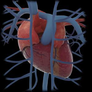 3D Rendering of Human Heart and Thoracic Veins by Stocktrek Images
