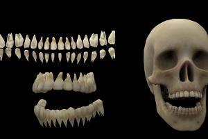 3D Rendering of Human Teeth and Skull by Stocktrek Images