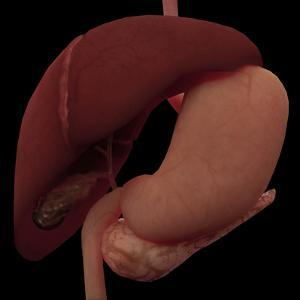 3D Rendering of Liver and Stomach of Human Digestive System by Stocktrek Images