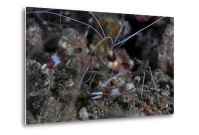 A Banded Coral Shrimp Crawls on the Seafloor