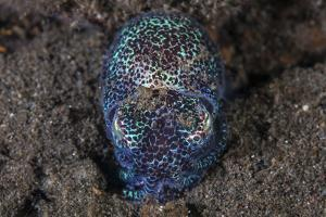 A Bobtail Squid Emerges from the Sandy Seafloor by Stocktrek Images