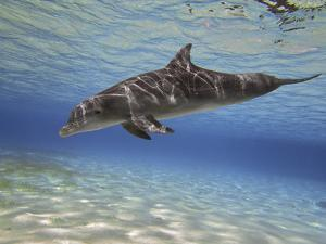 A Bottlenose Dolphin Swimming the Barrier Reef, Grand Cayman by Stocktrek Images