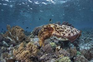 A Broadclub Cuttlefish Swims Above a Diverse Reef in Indonesia by Stocktrek Images