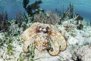 A Caribbean Reef Octopus on the Seafloor Off the Coast of Belize by Stocktrek Images