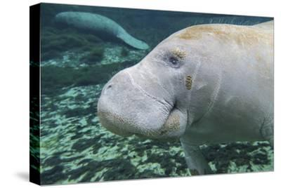 A Close-Up Head Profile of a Manatee in Fanning Springs State Park, Florida