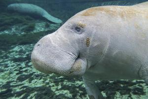 A Close-Up Head Profile of a Manatee in Fanning Springs State Park, Florida by Stocktrek Images
