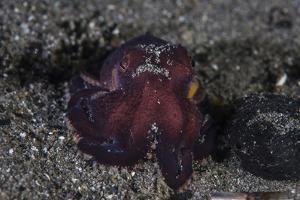A Coconut Octopus Crawls across the Sandy Seafloor by Stocktrek Images