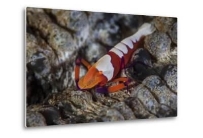 A Colorful Emperor Shrimp Sits Atop a Sea Cucumber
