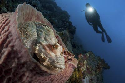 A Diver Looks on at a Tassled Scorpionfish Lying in a Barrel Sponge by Stocktrek Images