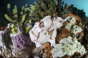 A Giant Frogfish Blends into its Reef Surroundings in Indonesia by Stocktrek Images