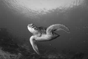 A Green Turtle Swimming in Komodo National Park, Indonesia by Stocktrek Images
