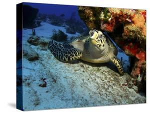 A Hawksbill Sea Turtle Resting under a Reef in Cozumel, Mexico by Stocktrek Images