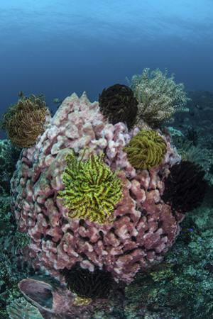 A Large Barrel Sponge Covered with Crinoids by Stocktrek Images