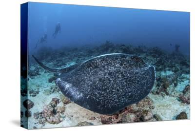 A Large Black-Blotched Stingray Swims over the Rocky Seafloor