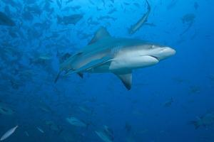A Large Bull Shark at the Bistro Dive Site in Fiji by Stocktrek Images