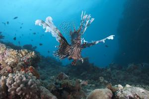 A Large Common Lionfish Swimming at Beqa Lagoon, Fiji by Stocktrek Images