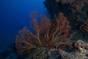 A Large Gorgonian Sea Fan on a Fijian Reef by Stocktrek Images