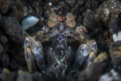 A Large Mantis Shrimp Waits to Ambush Prey on a Reef