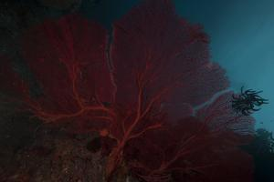 A Large Red Gorgonian Sea Fan and Black Crinoid, Fiji by Stocktrek Images