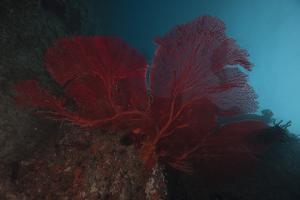 A Large Red Gorgonian Sea Fan, Beqa Lagoon, Fiji by Stocktrek Images