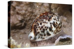 A Large Tiger Cowrie, Fiji by Stocktrek Images
