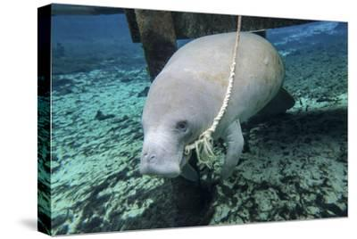 A Manatee Gnawing on the Dock Line at Fanning Springs State Park, Florida