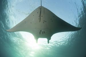 A Manta Ray Swims into the Sun in the Tropical Pacific Ocean by Stocktrek Images