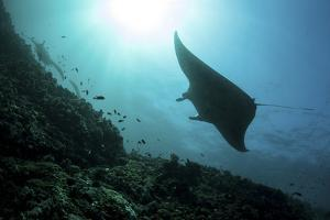 A Manta Ray Swims Through a Current-Swept Channel in Indonesia by Stocktrek Images