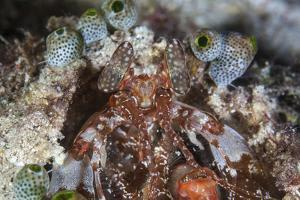 A Mantis Shrimp Peers Out of its Lair on a Reef in Indonesia by Stocktrek Images