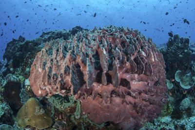 A Massive Barrel Sponge Grows on a Healthy Coral Reef by Stocktrek Images