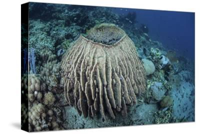 A Massive Barrel Sponge Grows on a Reef Near Alor, Indonesia