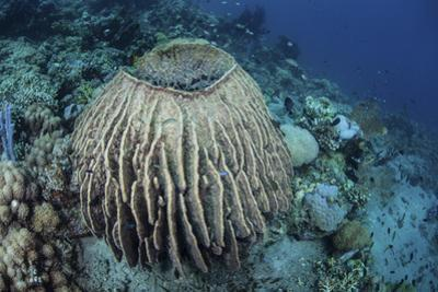 A Massive Barrel Sponge Grows on a Reef Near Alor, Indonesia by Stocktrek Images
