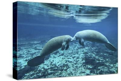 A Pair of Manatees Appear to Be Greeting Each Other, Fanning Springs, Florida