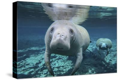 A Pair of Manatees Swimming in Fanning Springs State Park, Florida