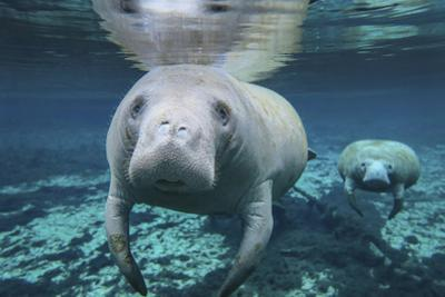 A Pair of Manatees Swimming in Fanning Springs State Park, Florida by Stocktrek Images