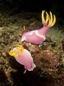 A Pair of Pink Nudibranchs, Lembeh Strait, Indonesia by Stocktrek Images
