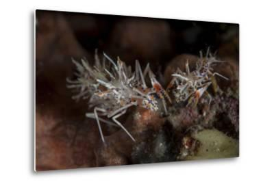 A Pair of Spiny Tiger Shrimp Crawl on the Seafloor