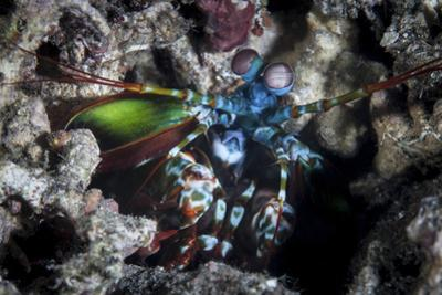 A Peacock Mantis Shrimp in Lembeh Strait, Indonesia by Stocktrek Images