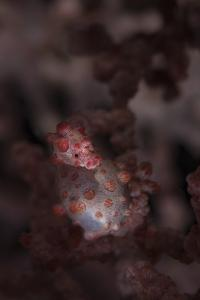 A Pygmy Seahorse Clings to its Symbiotic Gorgonian by Stocktrek Images