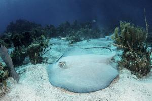 A Roughtail Stingray Rests on the Seafloor Near Turneffe Atoll by Stocktrek Images