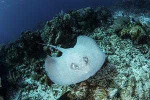 A Roughtail Stingray Swims over the Seafloor Near Turneffe Atoll by Stocktrek Images